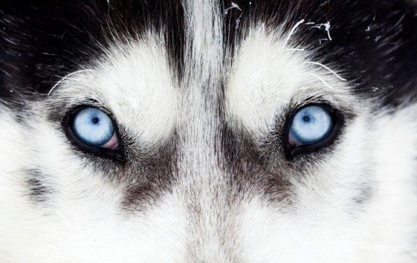Los mejores disenos de tatuajes de lobos mirada penetrante
