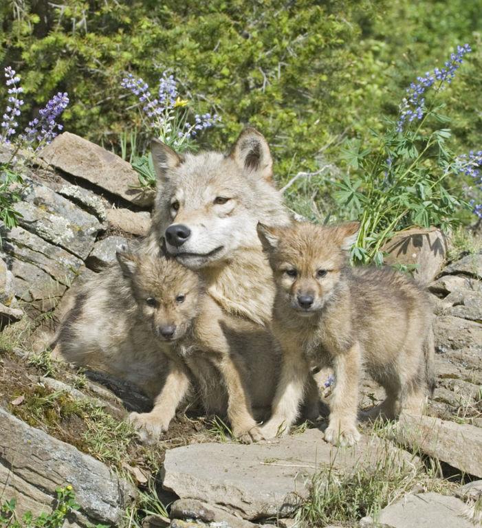 Tatuajes de lobos pequeños hermanos union familiar