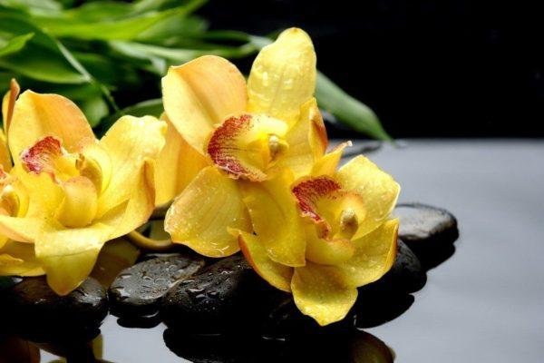 cuales-son-las-flores-preferidas-para-un-ramo-el-dia-de-san-valentin-2015-orquideas-amarillas