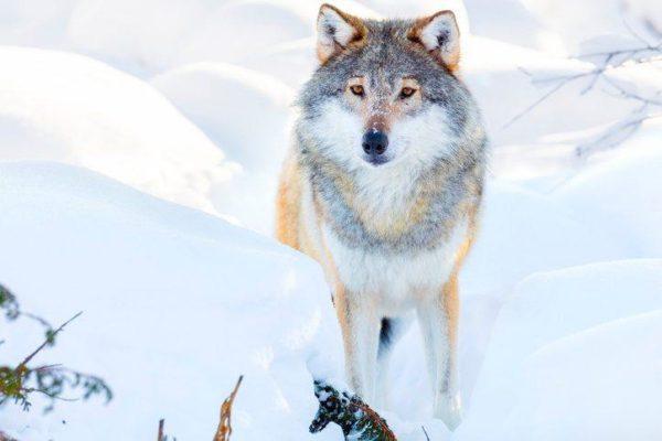 Los mejores disenos de tatuajes de lobos belleza y fuerza
