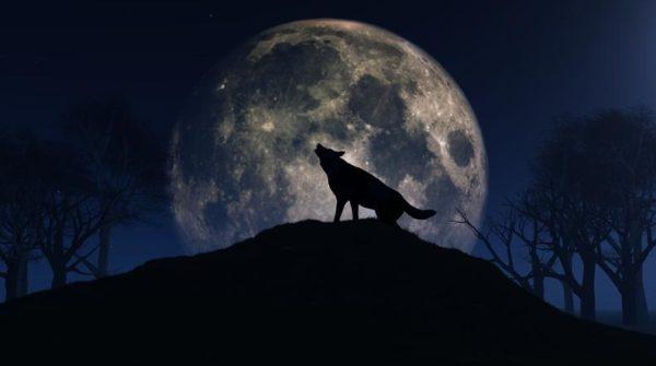 Tatuajes de lobos grandes aullando a la luna